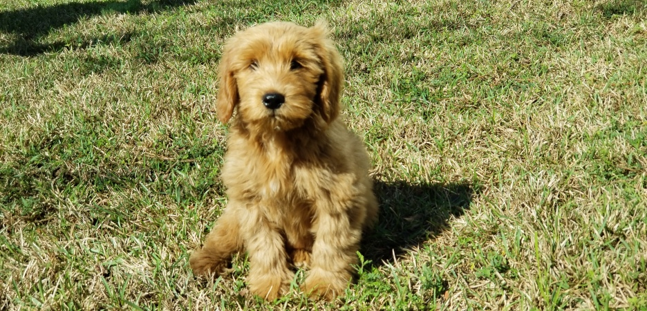 Forever Snuggly Miniature Goldendoodles - Miniature